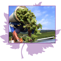Grape Harvest 2016